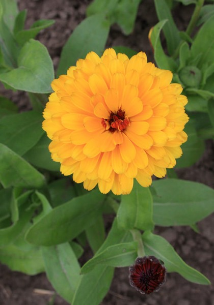 Ringelblume Touch of red-orange