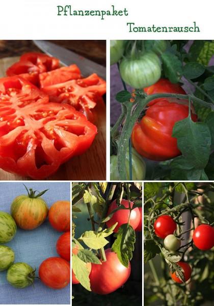 Tomatenrausch - 4 Pflanzen