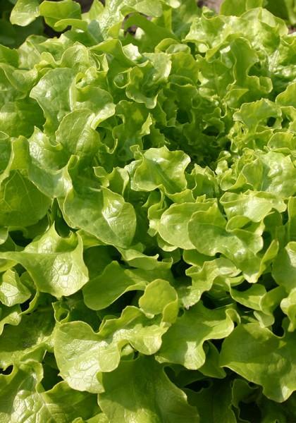 Eichblattsalat Salad Bowl