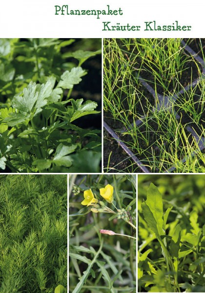 Küchenkräuter Klassiker Pflanzenpaket - 4 Pflanzen