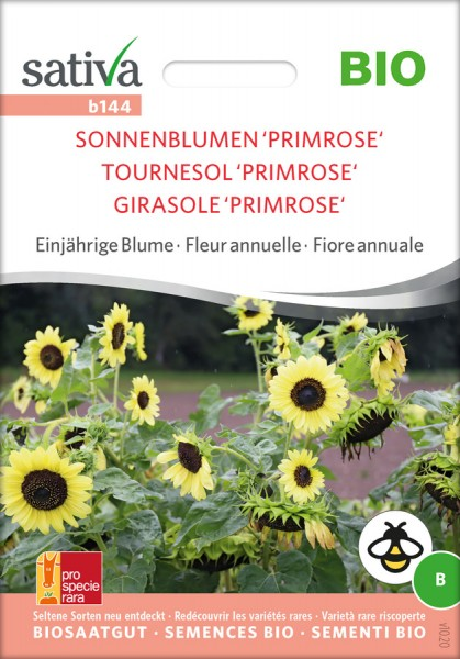 Sonnenblume Primrose