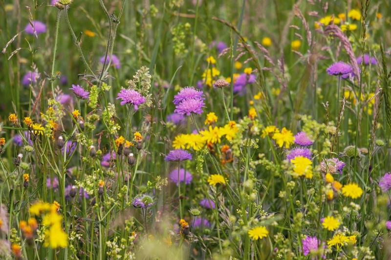 media/image/wild-flower-meadow-3386014_1920.jpg