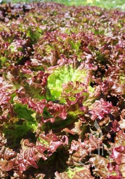 Pflücksalat (Blattbatavia rot)