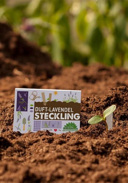 Steckling Lavendel